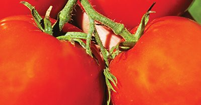 Tomatoes – What you Need to Know