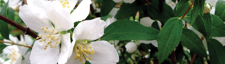 Fragrant Shrubs Best Planted in March