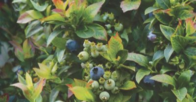 Top 10 Berries that Grow Well in Containers